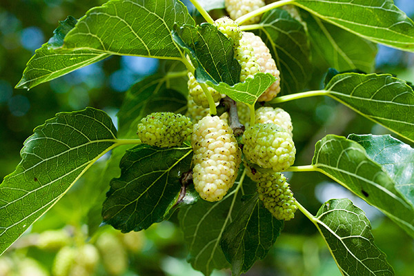 White mulberry can help with weight loss, study finds