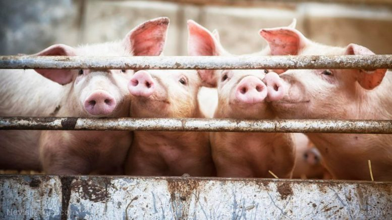 Antimicrobial resistance up in animals raised for human consumption, warns study
