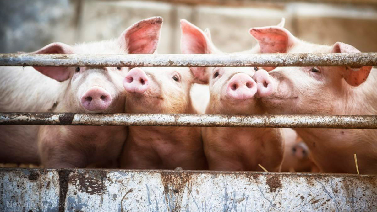 Image: Antimicrobial resistance up in animals raised for human consumption, warns study