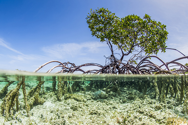 Water purifier inspired by mangrove trees can draw salt from water